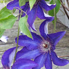 Clematis on the arbor<br /> <br /> Photographer's Name: Dennis Kumkowski<br /> Photographer's City and State: Anderson, IN