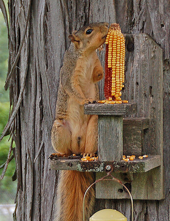 """A squirrel I named """"Tripod"""" does quite well despite missing his left front leg, possibly bitten off by a rival.<br /> <br /> Photographer's Name: Larry Burwell<br /> Photographer's City and State: Frankton, Ind."""