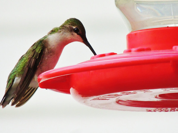 Hummingbird back to the liquid buffet.<br /> <br /> Photographer's Name: Sharon Markle<br /> Photographer's City and State: Markleville, IN
