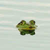 """Our Markle Farm pond denizen just popping up to say """"hi"""".<br /> <br /> Photographer's Name: Sharon Markle<br /> Photographer's City and State: Markleville, IN"""