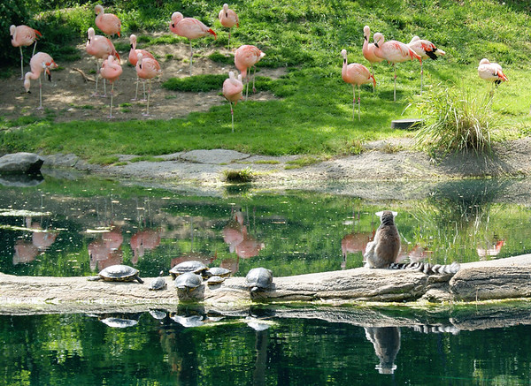 Lemurs, turtles, and flamingos, all enjoying a lovely afternoon at  the Indianapolis Zoo and White River Gardens<br /> <br /> Photographer's Name: Morgan Elbert<br /> Photographer's City and State: Alexandria, IN