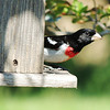 Rose-breasted grosbeak flew in from our woods<br /> <br /> Photographer's Name: Sharon Markle<br /> Photographer's City and State: Markleville, IN
