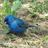 Indigo Bunting, I think<br /> <br /> Photographer's Name: Sharon Markle<br /> Photographer's City and State: Markleville, IN