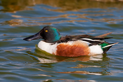 Northern shoveler closeup