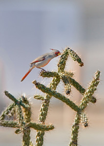 pyrrhuloxia on cactus 2