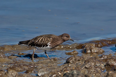 black turnstone 2