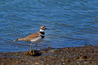 killdeer on mudflat
