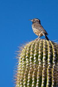 cactus wren on cactus