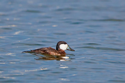 muddy ruddy duck