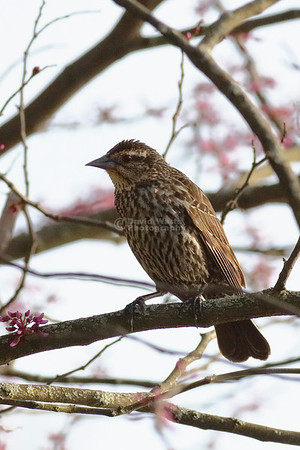 Female Red Wing Blackbird