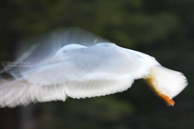 Bird in Flight Intentional Blur
