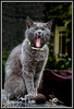 Yawning Cat<br /> Wales<br /> September 2009