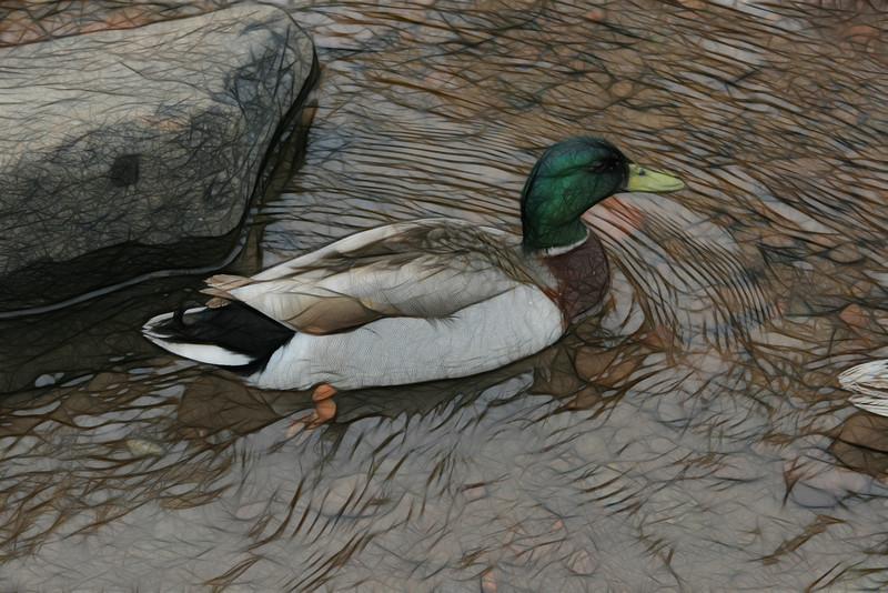 Duck @ Lake Superior