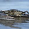 crab.hilton head.