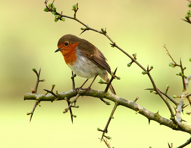 A robin sitting on the branch of a hawthron tree.