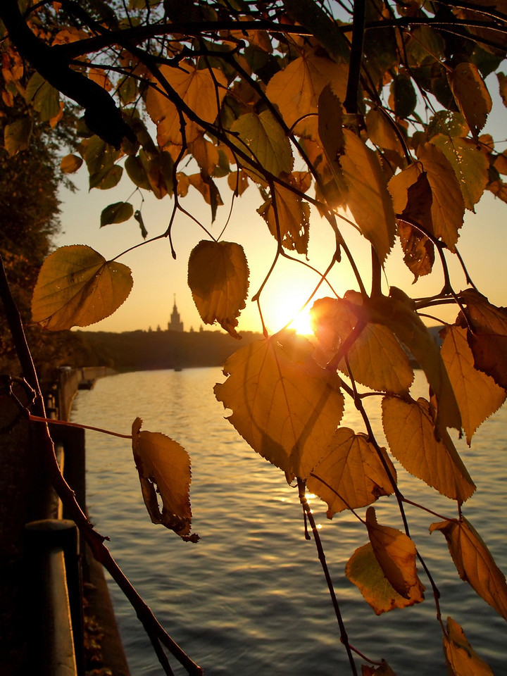 Gold autumn leaves. Sun is visible through leaves. Sunset.
