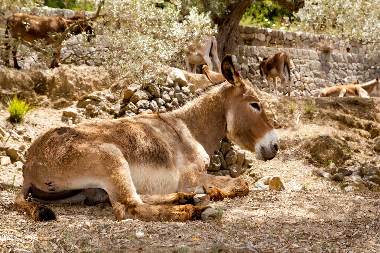 Donkey mule sitting in Mediterranean olive tree