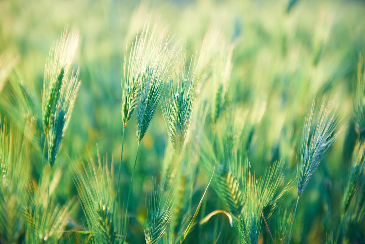 Field of grass on sunset