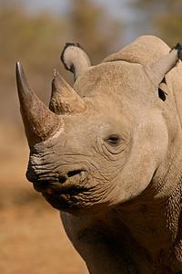 Portrait of a black rhinoceros (hooked-lipped rhinoceros), South Africa