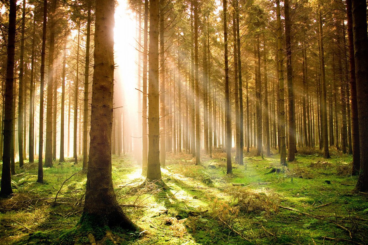 Sun rising over a pine forest.