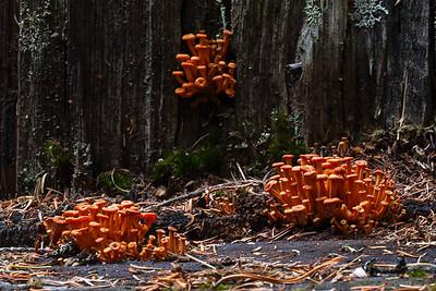Mushroom on Dead Tree