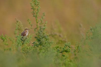 Savannah Sparrow in Habitat