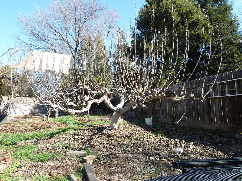 Before winter pruning.  (February 4, 2012)