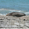 Fur seals love lying in the sun and not much interrupts their afternoon naps.