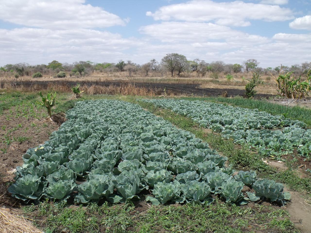 Cabbages Bbilili Gardens