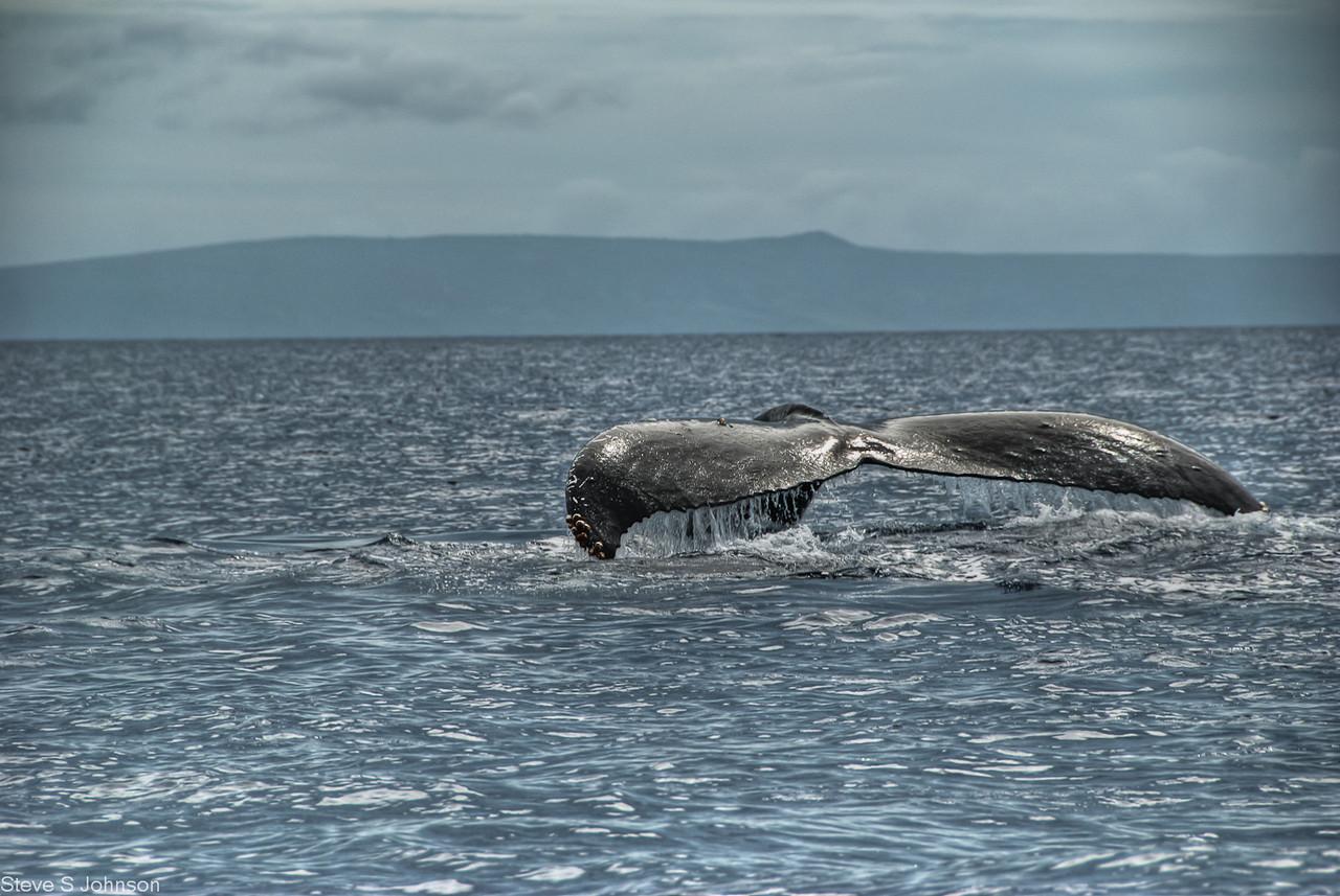 Maui Humpback