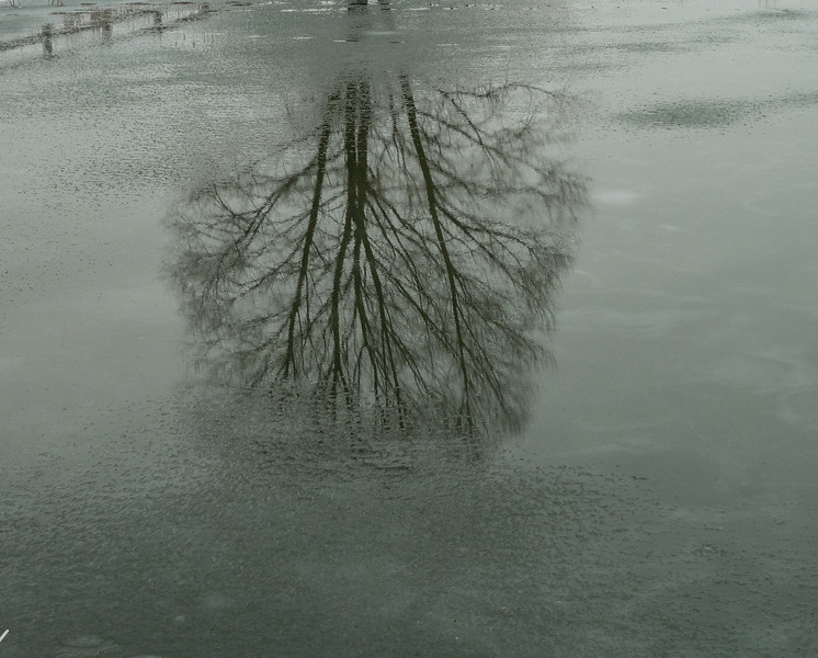 January 28.  Ice started to melt on the pond, reflecting back some of this tree and the fence.