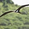 Great frigatebird at Kilauea Point National Wildlife Refuge
