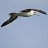 Laysan Albatross at Kilauea Point National Wildlife Refuge