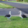 one albatross greeting another