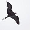 Great Frigate bird at Kilauea Point National Wildlife Refuge