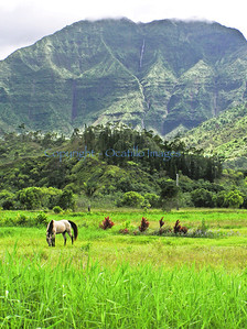 One Lucky Horse / Hanalei Valley, Kauai