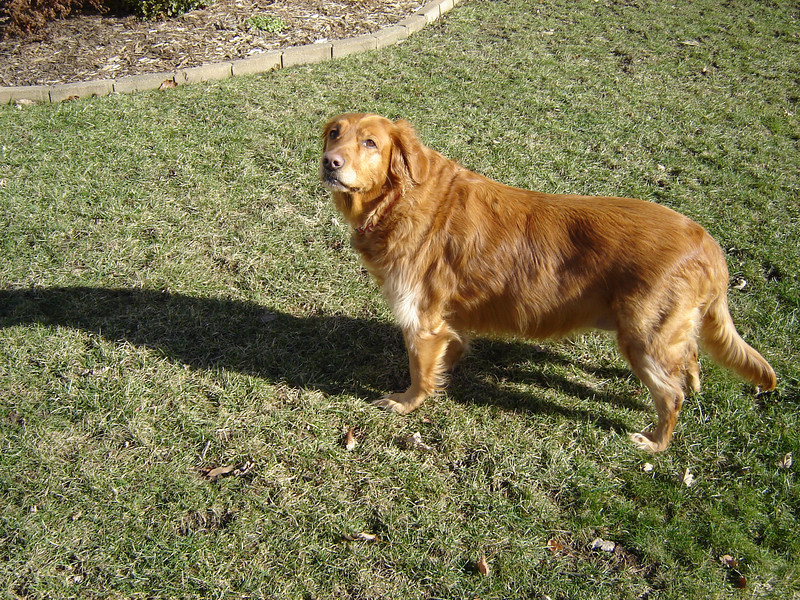 Muffin <br /> Muffin is a Golden Retriver. She is 9 years old