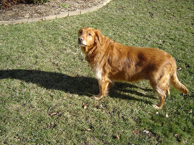 Muffin  Muffin is a Golden Retriver. She is 9 years old