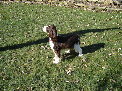 Molly  Molly is a English Springer Spanial, She\'s 2 1/2 years old