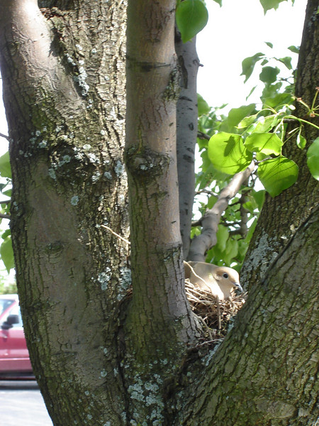 Our nesting Dove out at the College <br /> Nesting Dove