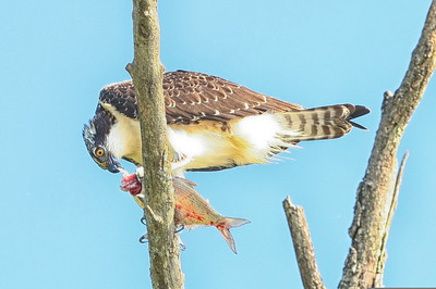 Osprey eating a fish
