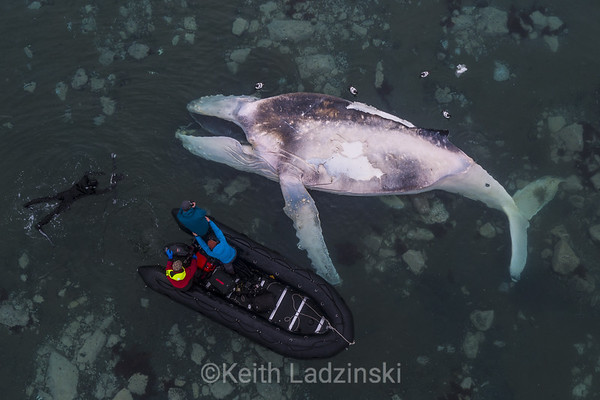 The same dead whale from the drone. Diver in the water is Keith Ladzinski. I am standing in the bottom left corner of boat.   Andy Mann is holding me.   Driver in red is from the Hans Hansson.