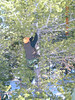 Placing a pulley in a tree so the retrieval cable will feed smoothly.
