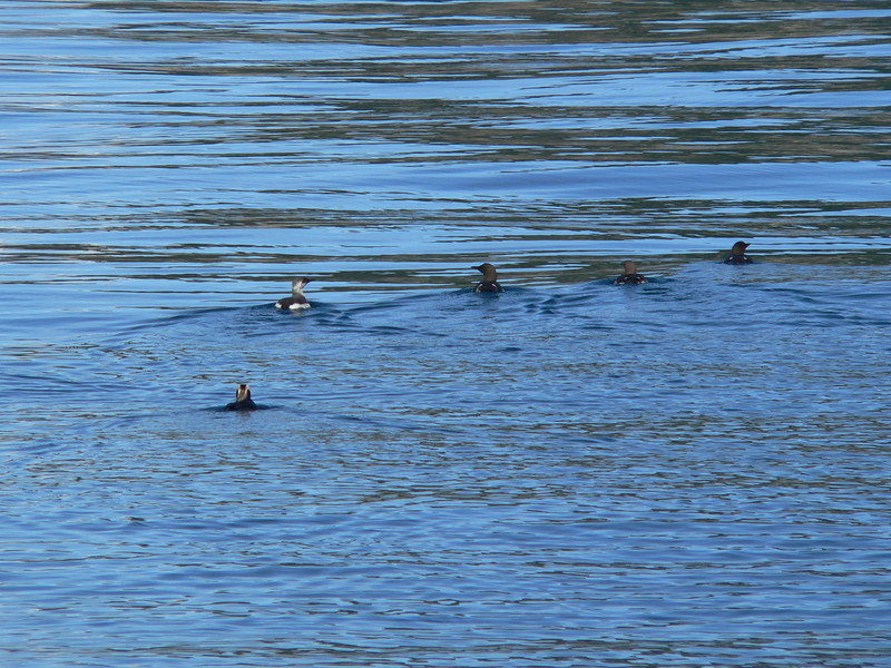 Two or three species of Alcids (L to R: Puffin, Guillemot, and possibly 3 Murres or 3 breeding Guillemots; my guess is the latter)
