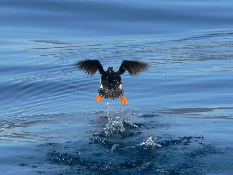 Horned Puffin (finally) takes to the air