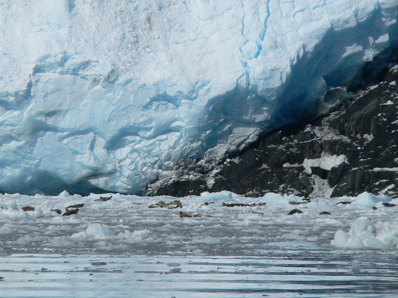 Harbor Seals in Aialik Bay use icebergs calved from the glacier as safe resting, pupping and nursing locations