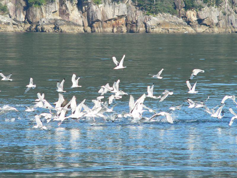 Black-legged Kittiwakes and Glaucous-winged Gulls