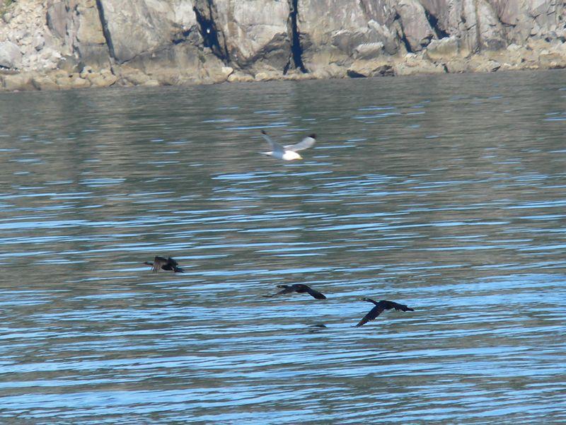 Three Pelagic-Cormorants and a Black-legged Kittiwake in flight