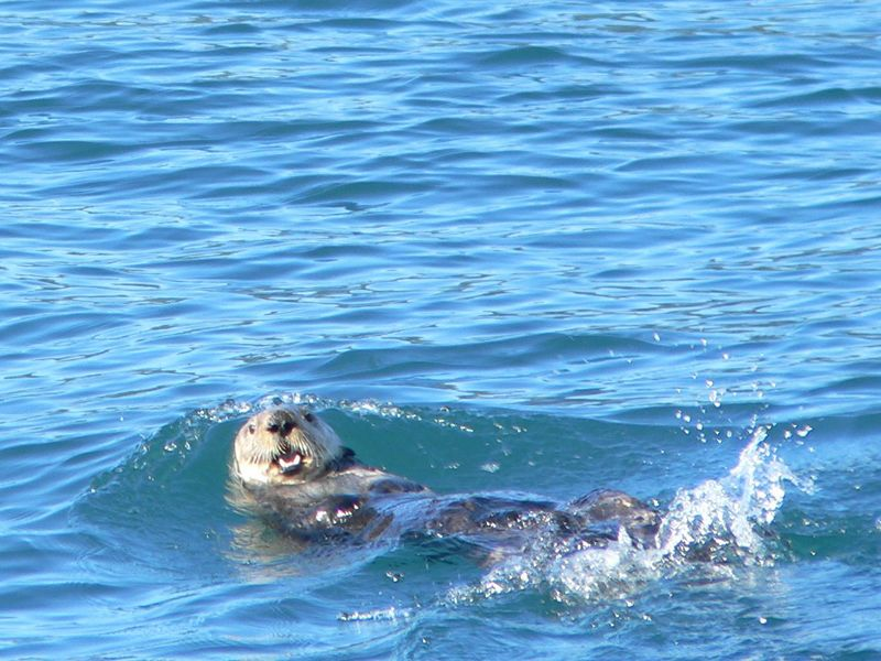 First sea otter sighting from the boat