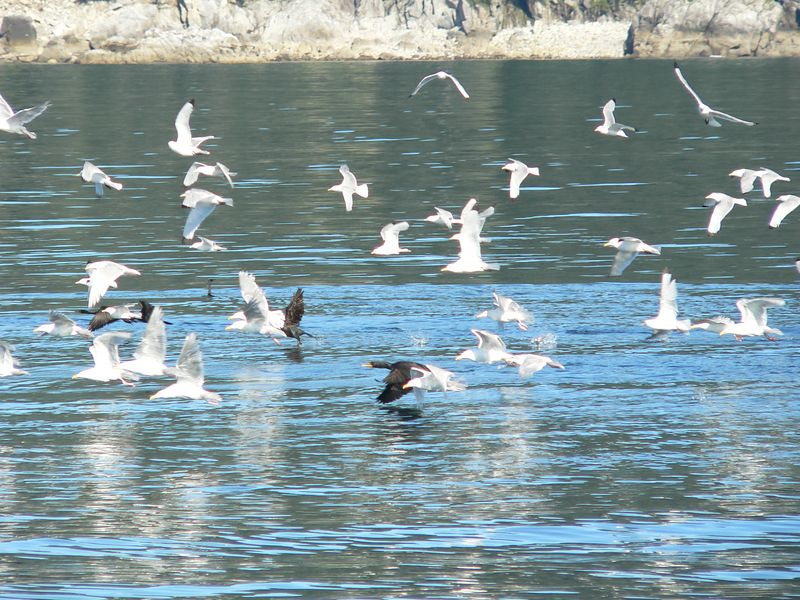 Feathered Foursome - Black-legged Kittiwakes, Glaucous-winged Gulls,  a pair of Pelagic Cormorants, and a Double-crested Cormorant